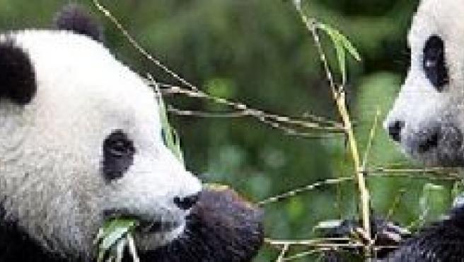 Dos pandas comiendo bambú