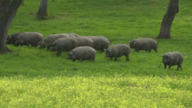 Crianza del cerdo ibérico. (FLICKR )