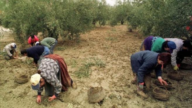 Un gupo de olivareros recoge aceitunas en Jaén. (ARCHIVO)