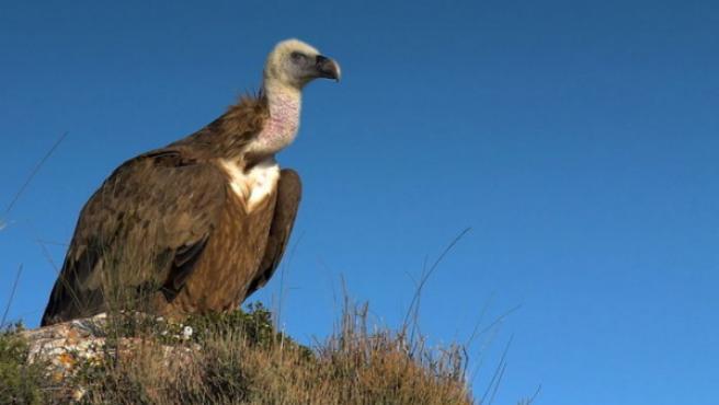 327 ovejas murieron, previsiblemente por afixia al precipitarse por un barranco tras el ataque de cuatro buitres en Talavera.