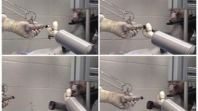 Momento en el que uno de los monos saca un malvavisco de un pincho y se lo lleva a la boca. (REUTERS).