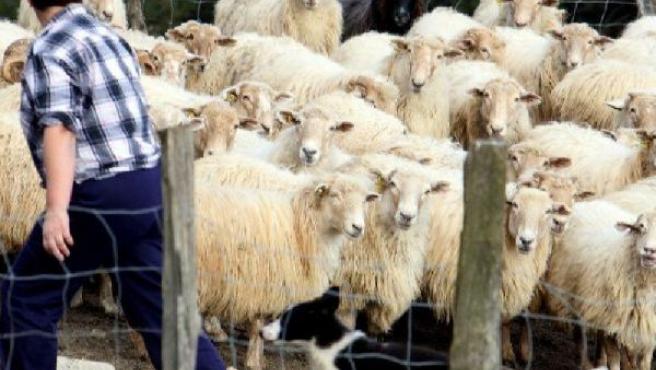 Se espera que las ovejas lleguen a limpiar una superficie total de 250 hectáreas de bosque. (ARCHIVO)