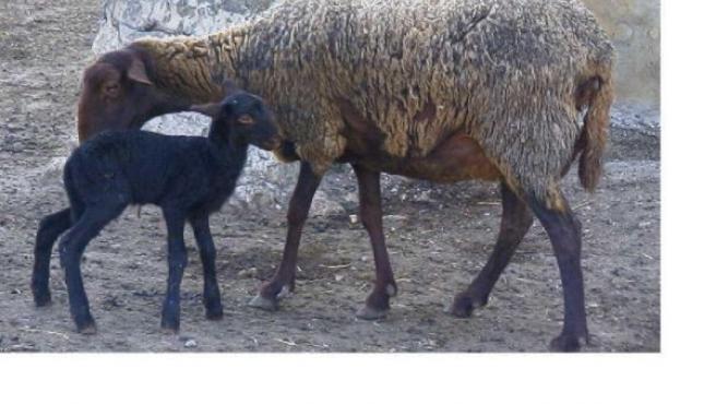 Dos especies de oveja guirra(ARCHIVO)