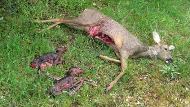 Corza abatida por un cazador furtivo.