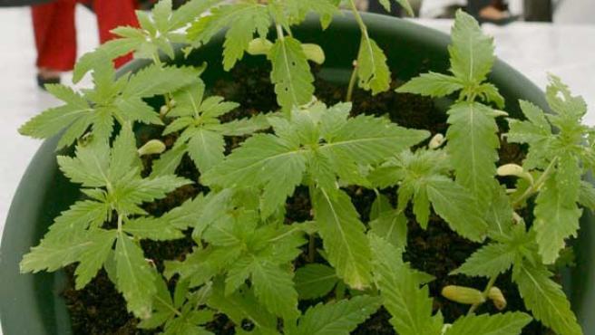Planta de cannabis (EFE)