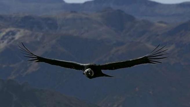 El cóndor andino es el ave voladora más grande del planeta (EFE).