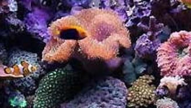 Los corales también sufren por el cambio climático. (ARCHIVO).