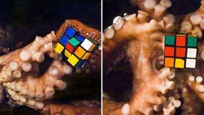 Dos pulpos con el cubo de Rubik entre sus tentáculos. (BNPS.CO.UK)