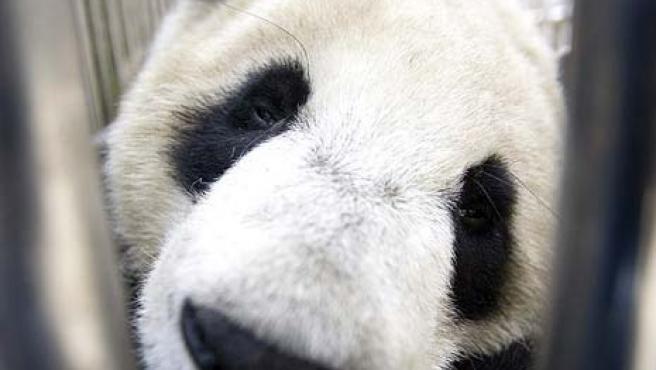 Un panda, rescatado del terremoto del pasado 12 de mayo en China, en la reserva de Wolong. (Alexander F. Yuan / AP)