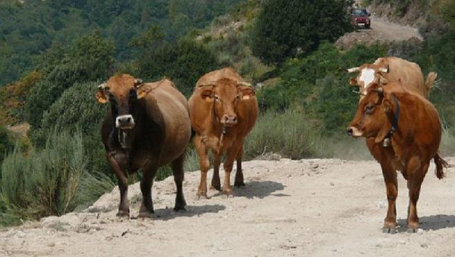 Unas vacas campan en el monte. (FLICKR.COM)