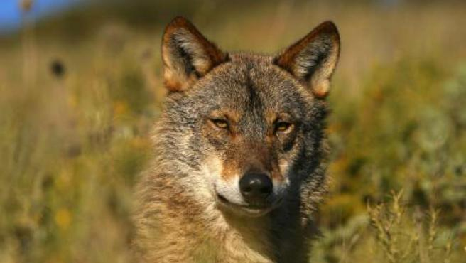 Los ganaderos quieren que se controlen las poblaciones de lobos de la zona. (ARCHIVO)