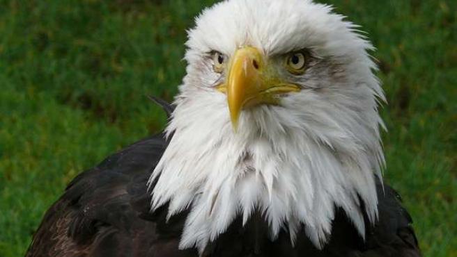 Un ejemplar de águila pigargo. (WIKIPEDIA)