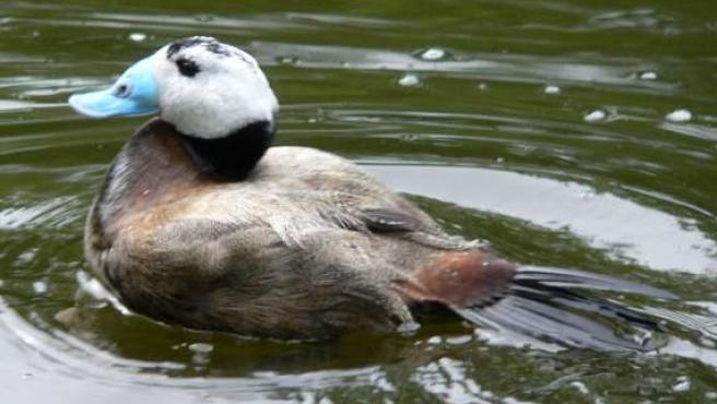 Entre las aves muertas se encuentran seis ejemplares de la malvasía cabeciblanca (WIKIPEDIA)