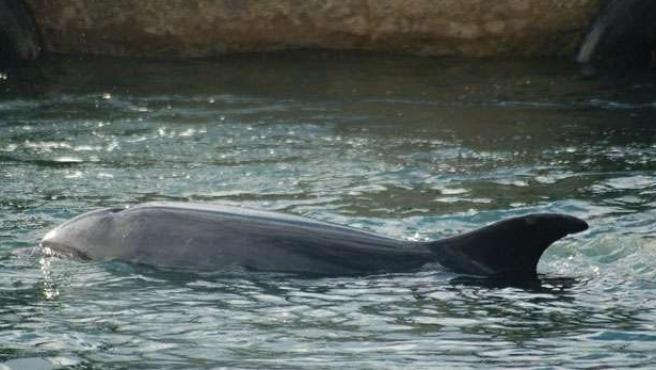 El delfín Gaspar merodea por la costa gallega. Foto: GREMMAR / J.F.Guillermo