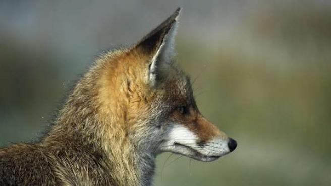 Ejemplar de zorro, de similares características al capturado en Ávila. 20MINUTOS/ARCHIVO
