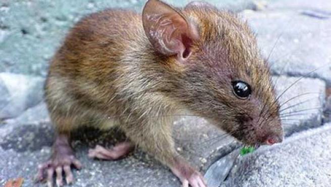 Las autoridades de Bihar proponen a sus vecinos comer ratas.