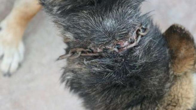 Imagen del perro herido facilitada por la Asociación para la Liberación Animal (ALBA).