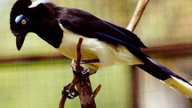 Las urracas, primeras aves en las que se demuestra la capacidad de auto reconocimiento. (FOTO: DAMISELA.COM)