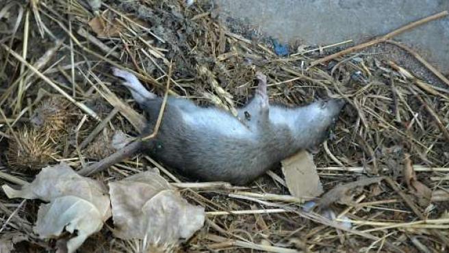 Las ratas campan a sus anchas por la zona. (ARCHIVO)