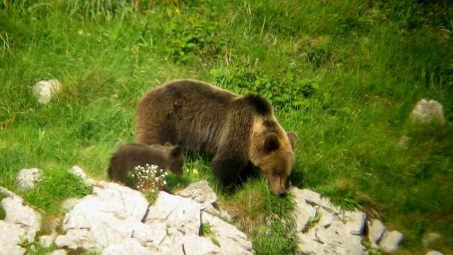 Osa adulta acompañada de su cría localizada en los montes de Proaza (Asturias) en la primavera de 2008.