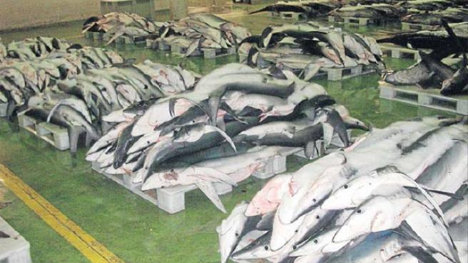 Tiburones azules, a la espera de ser subastados en Vigo (OCEANA).