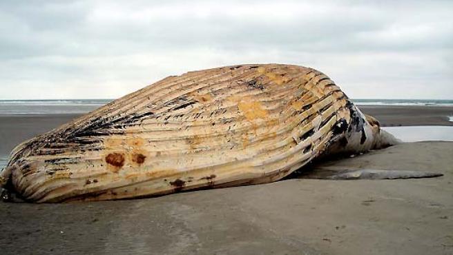 Una ballena jorobada de 14 metros apareció muerta en la playa de la localidad de Portete (Ecuador). (Jaime Echeverria / EFE).