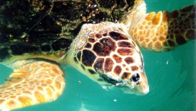 Imagen de archivo de una tortuga boba. (WIKIPEDIA)