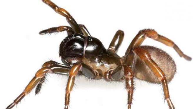 Araña (ARCHIVO)