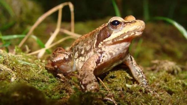Un ejemplar adulto de rana ibérica. (ARCHIVO)