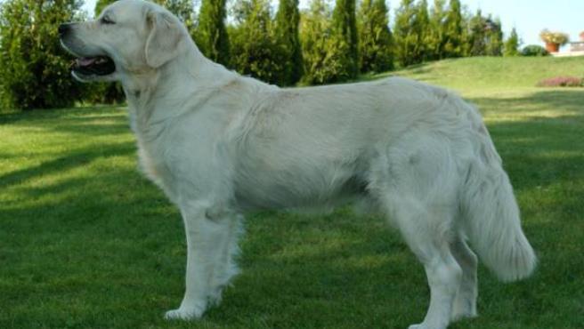 El golden retriever es uno de los mejores perros para ligar. (WIKIPEDIA)