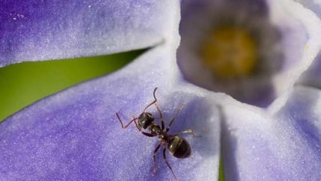 Especie de hormiga de características similares a la hallada en la selva del Amazonas. FLICKR
