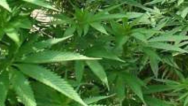 Plantacion de marihuana