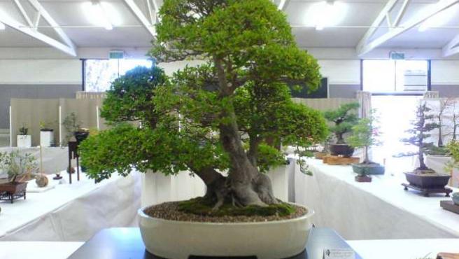 Bonsáis en una exhibición de árboles en miniatura. (ARCHIVO)
