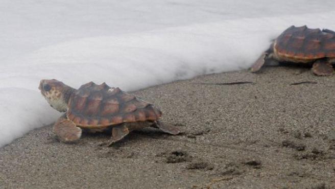 Dos tortugas bobas intentan adentrarse en el mar tras ser liberadas.