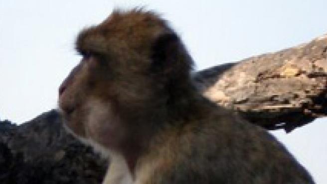 Un ejemplar adulto de mono de Gibraltar, en una imagen de archivo.