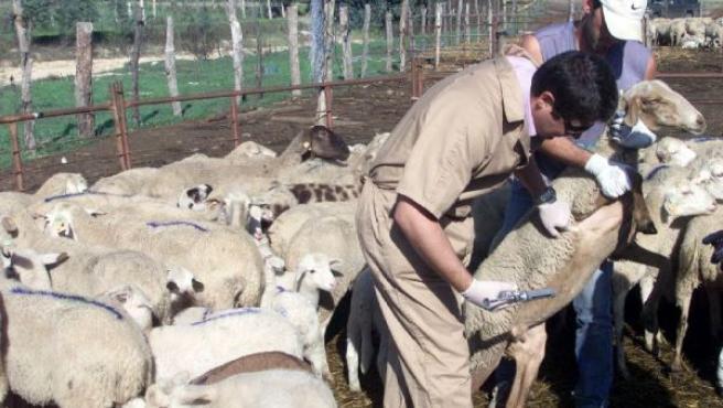 Vacunación de ganado ovino contra la lengua azul. (ARCHIVO)