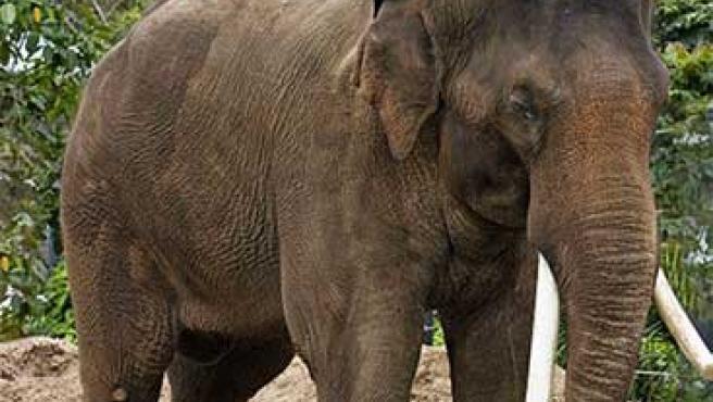 Los elefantes no alcanzan su madurez sexual hasta los 14 años