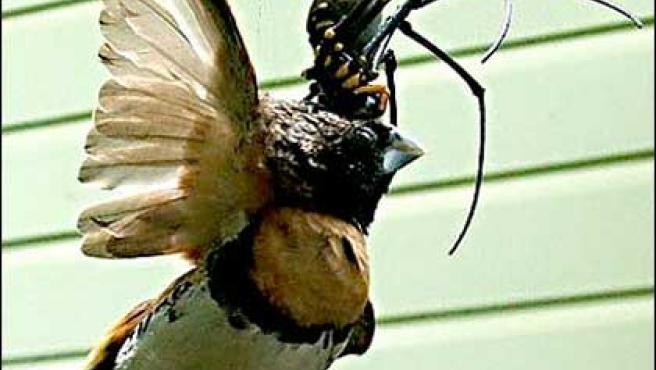 Momento en que la araña gigante devora a un pájaro. (FOTO: Telegraph)