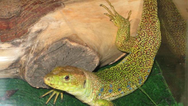 La Policía ha capturado en una vivienda de la capital a un reptil de 50 centímetros de longitud.