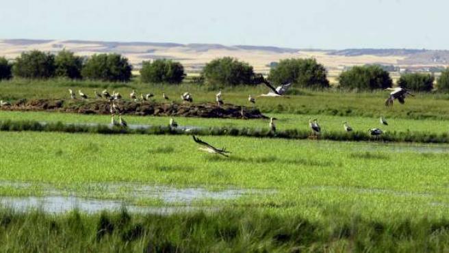 Una bandada de cigüeñas sobrevuela el humedal palentino de la Laguna de la Nava.