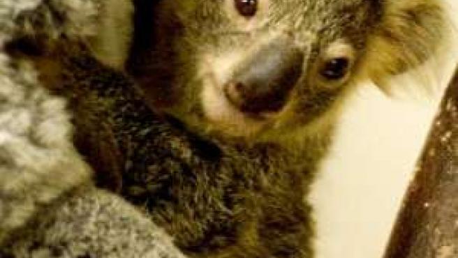 Un koala en el zoo de Madrid. (ARCHIVO)