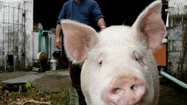 El cerdo Quinín. (FOTO: La Voz de Galicia).
