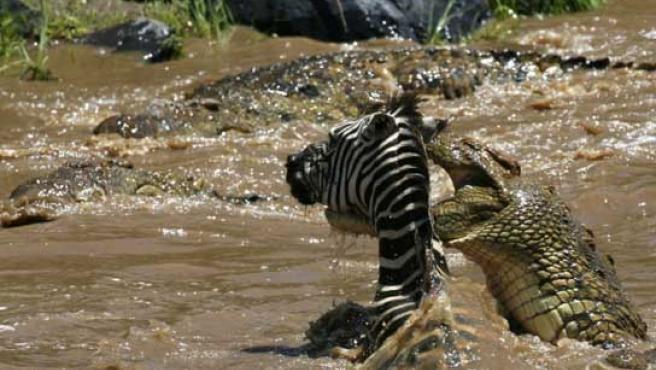 Fotograma del instante en el que el reptil se lanza al cuello de la cebra. (DAILY MAIL)