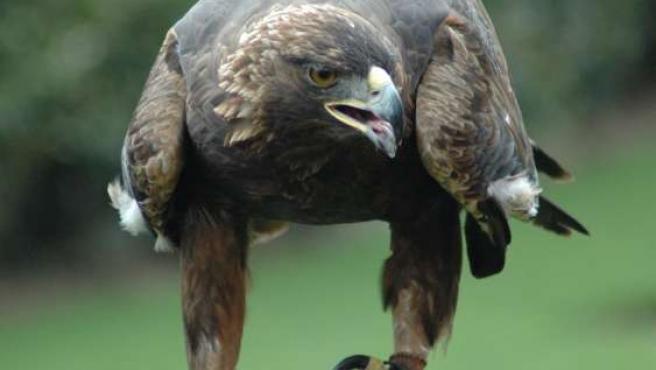 Imagen de un águila real. (ARCHIVO)