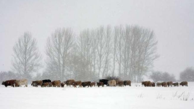 Un rebaño de vacas trata de encontrar pasto entre la nieve en la localidad leonesa de Casares de Arbás.