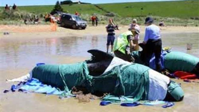 Una de las ballenas que han llegado a las costas de Tasmania. (AP)