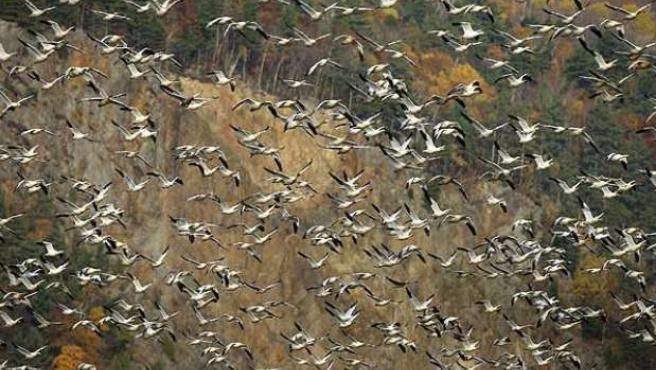 Gansos volando en un paraje natural
