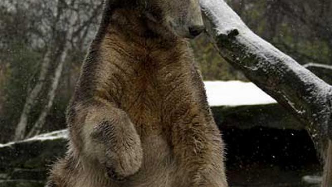 El oso Knut, en el zoo de Berlín.