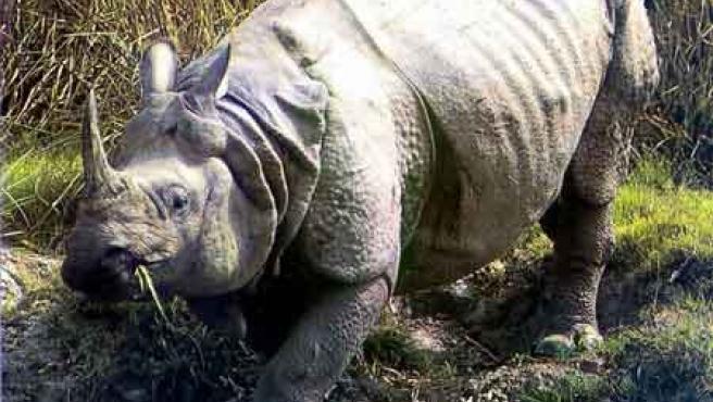 El rinoceronte de Java ocupa el primer puesto en la nueva lista de especies en peligro de extinción (ARCHIVO)
