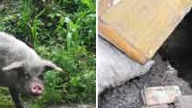El cerdo, antes y después de su cautiverio.